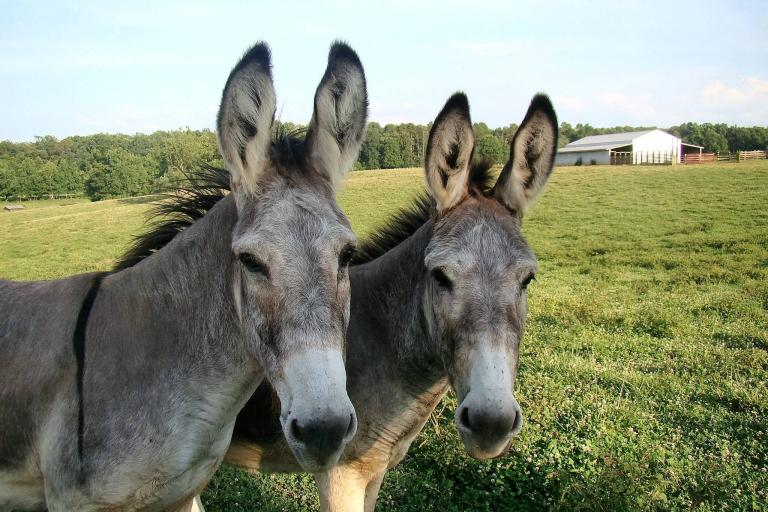 Two donkeys side-by-side