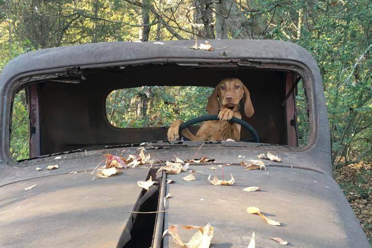 Dog sitting behind wheel of old car