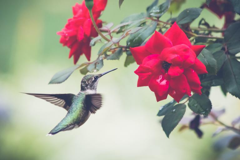 Hummingbird alights on a blossom