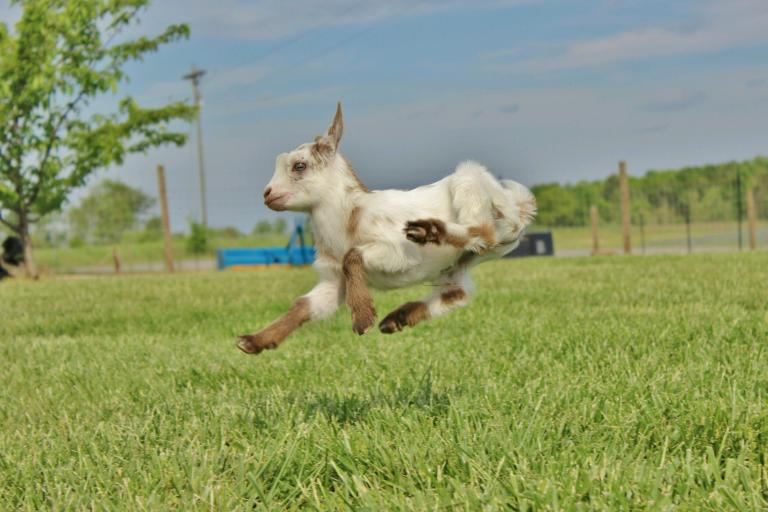 Baby goat jumping mid-air